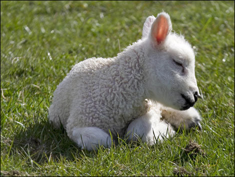 What Is the Meaning of Spirituality? Cute-little-lamb1